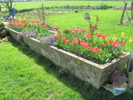 mes premieres tulipes