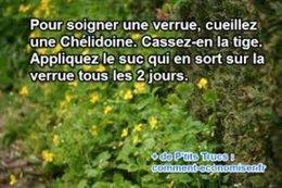 CHELIDOINE