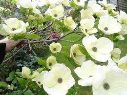 Avez-vous un CORNUS WHITE WONDER dans votre jardin ?