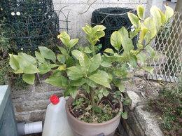Au secours , mon citronnier a les feuilles qui s'enroulent !