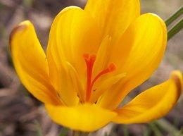 Crocus fleuris dans votre région ?