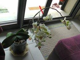 Bouturer une orchidée