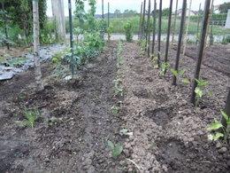 Quelle variété de haricots semez-vous ?