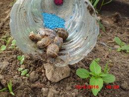 Feuilles de haricots mangées