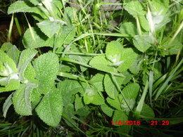 recherche plants de menthe poivrée et bergamote