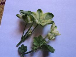 geraniums lierres