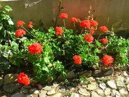 Combien de temps se gardent les géraniums?