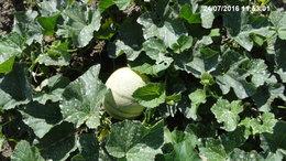 La culture du melon