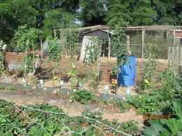 Taille des plants de tomates