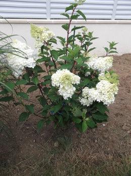 Hortensias et Hydrangeas
