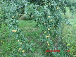 recolte de pommes....