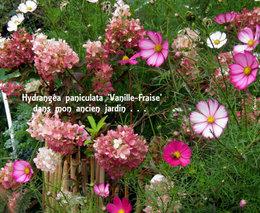 Bouture hortensia