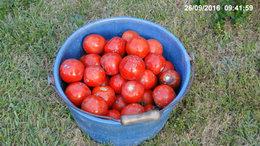 derniére cueillette de tomates 2016