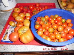Faire mûrir les dernières tomates