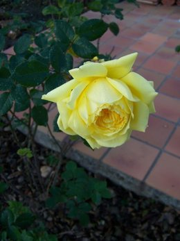 un rosier