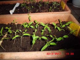 développement des semis de tomate