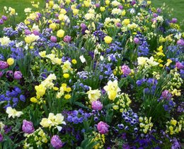 Découverte des champs de tulipes et jacinthes