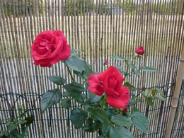 boutures rosiers