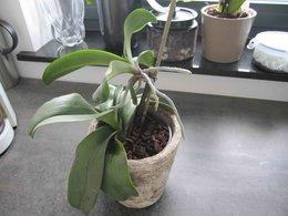 Bébés phalaenopsis