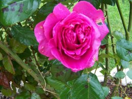 Mes roses ...........