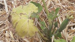 Soucis sur plants de courgette