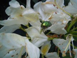 Larve de cétoine - Ver blanc