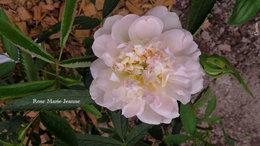 Pierre de Ronsard, fleurs toutes pâles