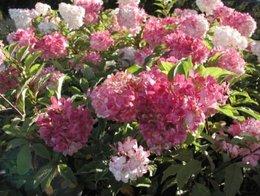 hortensia drôle de couleur