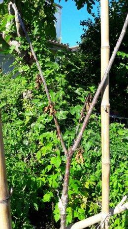 Cerisier mort au-dessus du point de greffe ?
