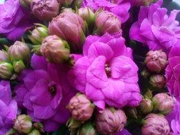 Kalanchoe fleuri