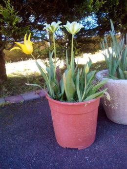Variété de tulipe