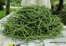 Semis de toutes les variétés de haricots