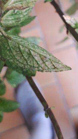 Plantes aromatiques malades
