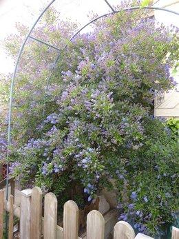 Floraison de mon Cénothe 2010