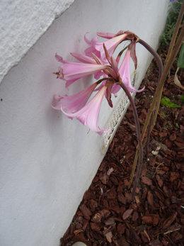 Quelle est cette fleur rose ?