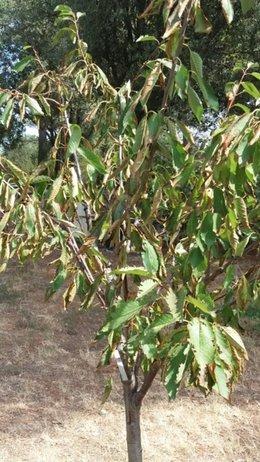 Problème avec mes cerisiers et un figuier