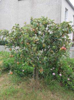 peut on mettre les épluchures de pommes véreuses dans le compost