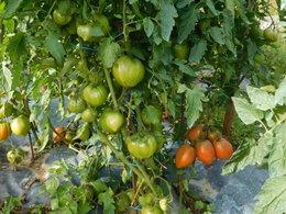 Tomates jusqu'en hiver
