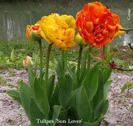 oignons de tulipes abimés