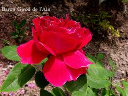 plantation de nouveaux rosiers