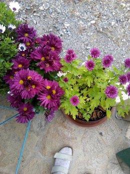Recycler les chrysanthèmes défleuris du cimetière