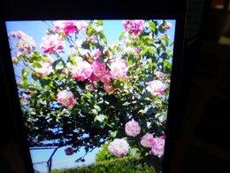 Bouturage rosier
