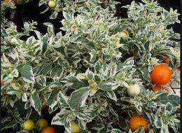 cherche graines pommier d'amour à feuilles panachees