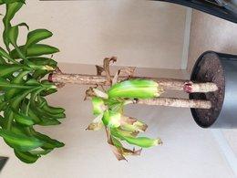 Plante d'intérieur feuille morte