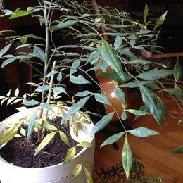 Bambou sacré en pot qui jaunit !