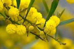 Mimosas en avance