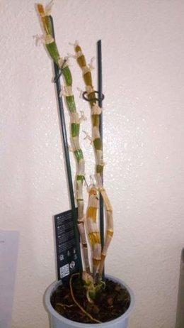 Comment et où couper mon orchidée dendrobium ?