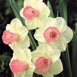 Quelles variétés de jonquilles ou narcisses avez-vous dans votre jardin