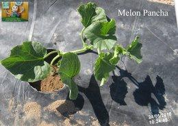 PLANTATION DES MELONS ET DES CONCOMBRES
