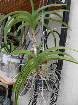 orchidée Vanda: besoin d'avis et de conseils